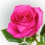 Rose_Umm_Habiba