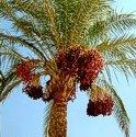 dattel_palmen